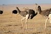 Ostrich_Mara_Reserve_Asilia__0022