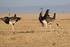 Ostrich_Mara_Reserve_Asilia__0033