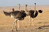 Ostrich_Mara_Reserve_Asilia__0009