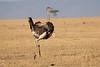 Ostrich_Mara_Reserve_Asilia__0029
