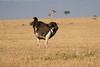 Ostrich_Mara_Reserve_Asilia__0026