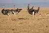 Ostrich_Mara_Reserve_Asilia__0037