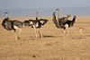 Ostrich_Mara_Reserve_Asilia__0039
