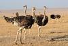 Ostrich_Mara_Reserve_Asilia__0007