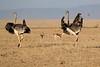 Ostrich_Mara_Reserve_Asilia__0032