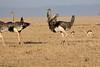 Ostrich_Mara_Reserve_Asilia__0035