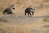 Spotted_Hyena_Mara_North_Elewana__0017