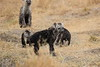 Spotted_Hyena_Mara_North_Elewana__0014