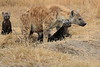 Spotted_Hyena_Mara_North_Elewana__0011