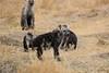 Spotted_Hyena_Mara_North_Elewana__0014