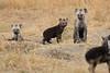 Spotted_Hyena_Mara_North_Elewana__0015