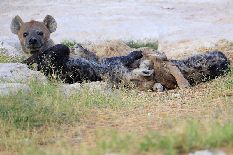Spotted_Hyena_Amboseli_Elewana__0003