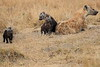 Spotted_Hyena_Mara_North_Elewana__0024