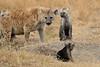 Spotted_Hyena_Mara_North_Elewana__0013