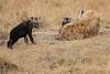 Spotted_Hyena_Mara_North_Elewana__0018