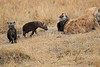 Spotted_Hyena_Mara_North_Elewana__0021