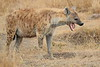 Spotted_Hyena_Mara_North_Elewana__0002