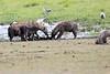 Spotted_Hyena_Amboseli_Elewana__0014