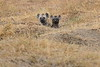 Spotted_Hyena_Mara_North_Elewana__0004