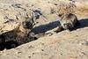 Spotted_Hyena_Amboseli_Elewana__0002