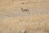 Thompsons_Gazella_Mara_North_Elewana__0003