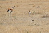 Thompsons_Gazella_Mara_North_Elewana__0007