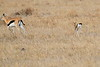 Thompsons_Gazella_Mara_North_Elewana__0020