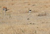 Thompsons_Gazella_Mara_North_Elewana__0006