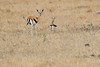 Thompsons_Gazella_Mara_North_Elewana__0010