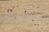 Thompsons_Gazella_Mara_North_Elewana__0008