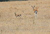 Thompsons_Gazella_Mara_North_Elewana__0015