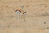 Thompsons_Gazella_Mara_North_Elewana__0011