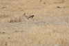 Thompsons_Gazella_Mara_North_Elewana__0005