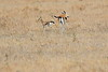Thompsons_Gazella_Mara_North_Elewana__0013