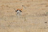 Thompsons_Gazella_Mara_North_Elewana__0012