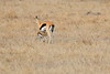 Thompsons_Gazella_Mara_North_Elewana__0017