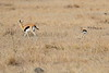 Thompsons_Gazella_Mara_North_Elewana__0023