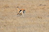 Thompsons_Gazella_Mara_North_Elewana__0018