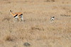 Thompsons_Gazella_Mara_North_Elewana__0024