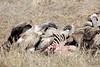 Vultures_Mara_Reserve_Asilia__0050