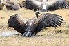 Vultures_Mara_Reserve_Asilia__0060