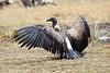 Vultures_Mara_Reserve_Asilia__0055