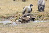 Vultures_Mara_Reserve_Asilia__0057