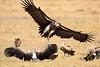 Vultures_Mara_Reserve_Asilia__0067