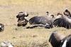 Vultures_Mara_Reserve_Asilia__0061