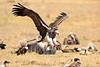 Vultures_Mara_Reserve_Asilia__0069