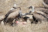 Vultures_Mara_Reserve_Asilia__0052
