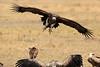 Vultures_Mara_Reserve_Asilia__0065