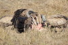 Vultures_Mara_Reserve_Asilia__0053