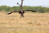 Vultures_Mara_Reserve_Asilia__0064